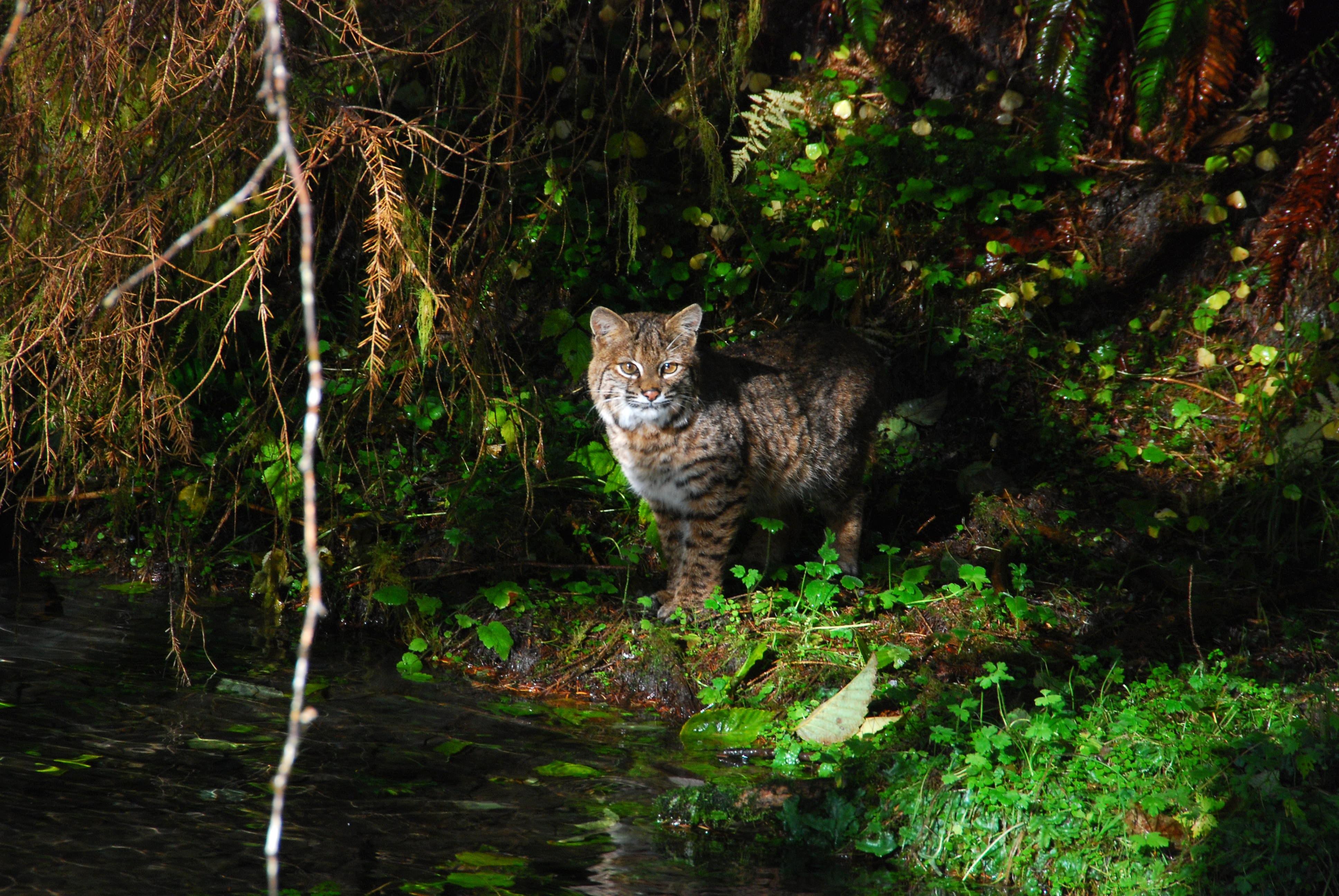 olympic_national_park_washington_bobcat