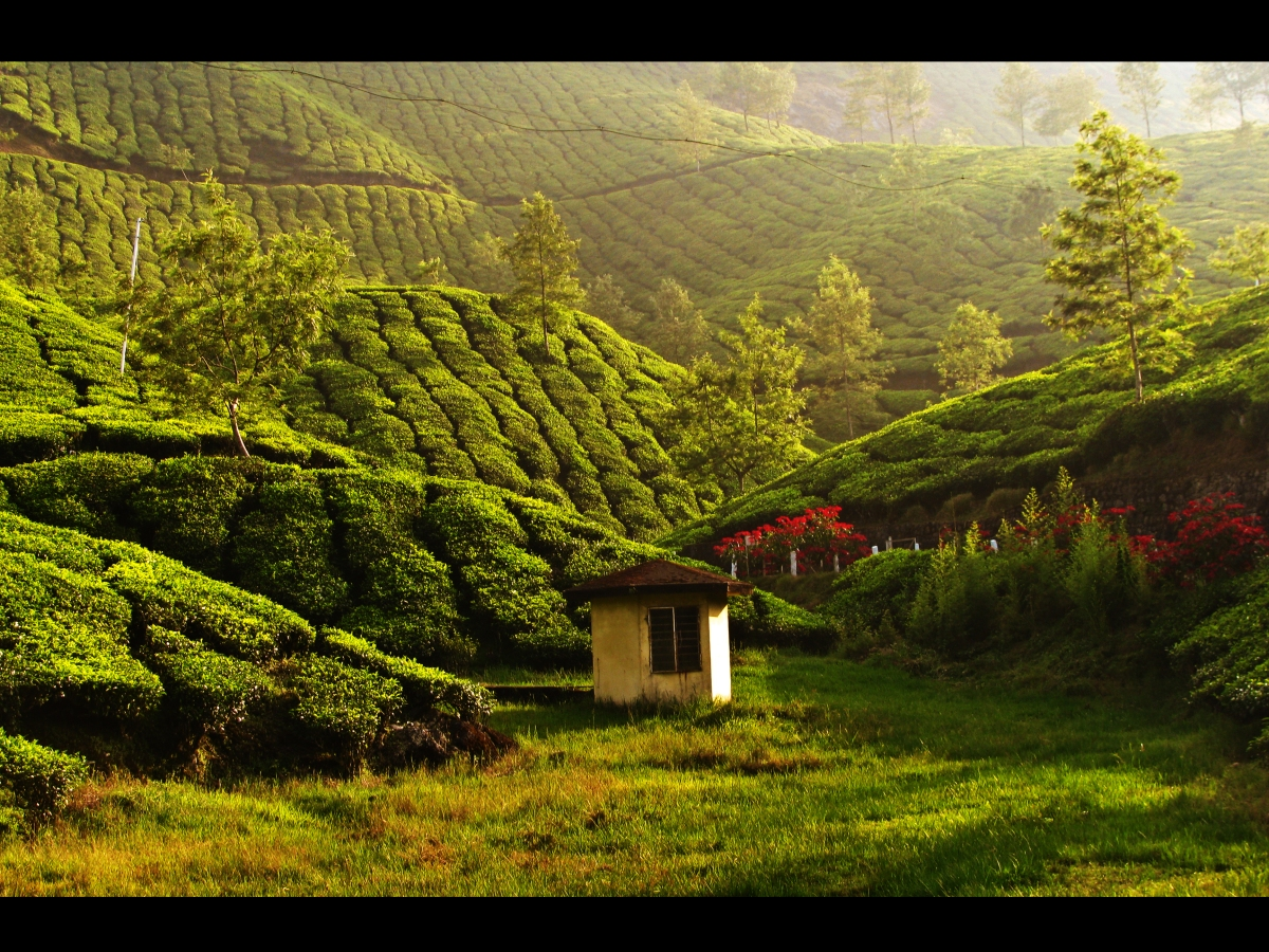 tea_estate_in_munnar_515638